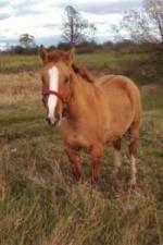 3 yr Qh sorrel red dun mare - $1000 (Gouverneur )
