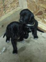 German Shorthaired Labrador Retriever | Dog Breeds Picture