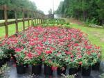 Plant Sale 1 gallon $2.97 Pine Straw $3.00 - $3 (Thomson)